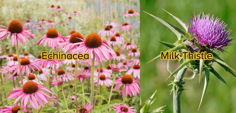 Echinaea dan MIlk Thistle, Obat herbal alami untuk kista